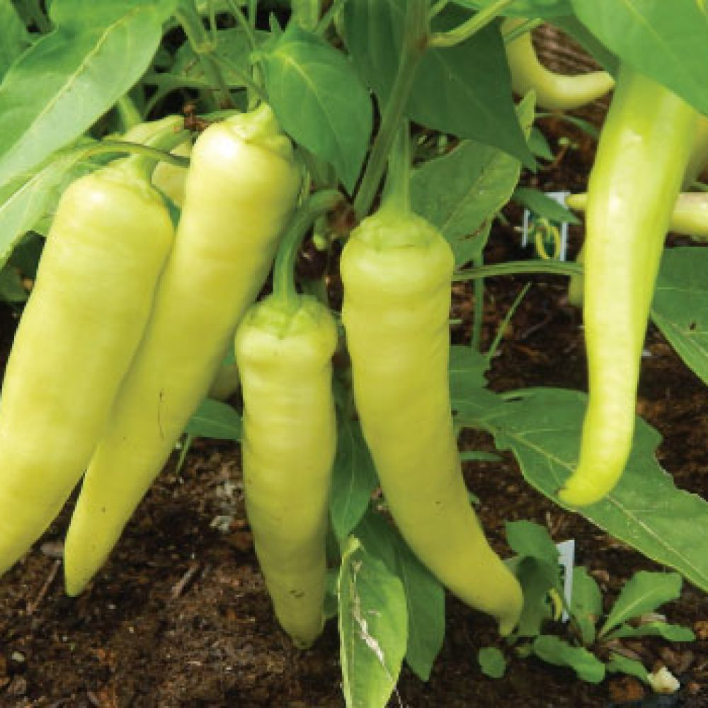 Sweet-Banana-Pepper-Seed1