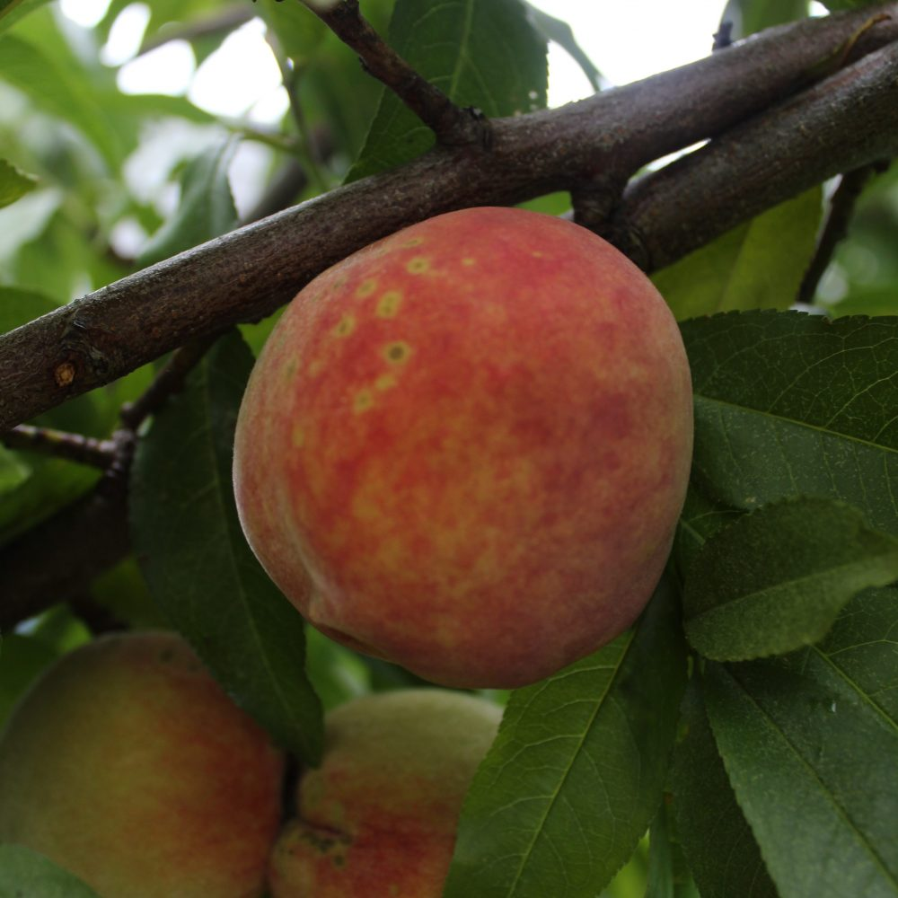 peach on limb